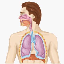 Особенности дыхательной системы – как кислород поступает в организм? Газообмен
