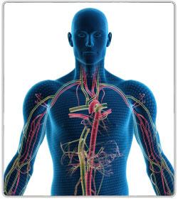Эндокринная система: строение и функции